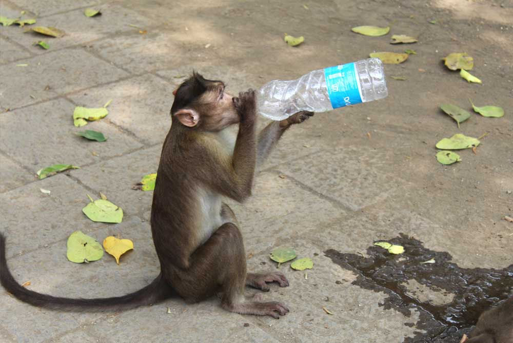 monkey-drinking-from-water-bottle-elephanta-caves-mumbai-bombay-india