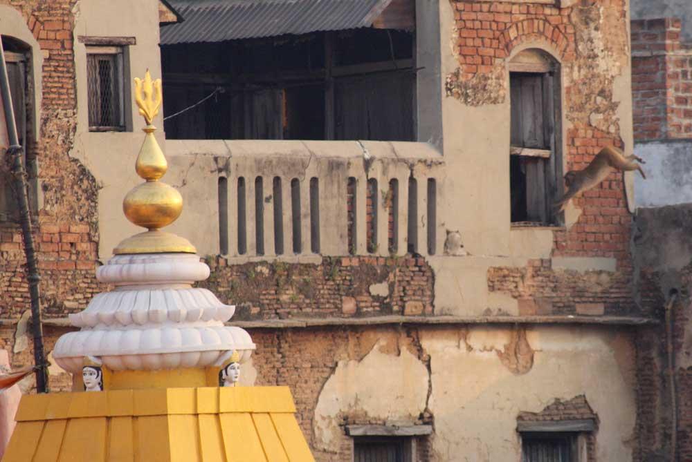 monkeys-on-rooftops-sunrise-varanasi-india