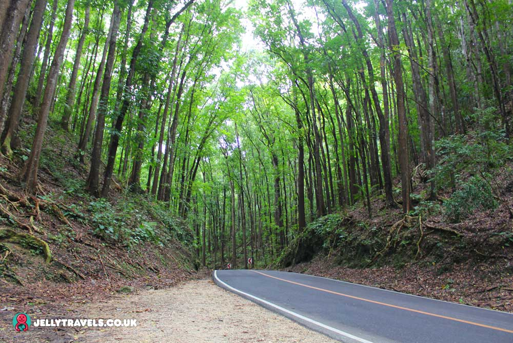 mangrove-man-made-forest-bohol-philippines