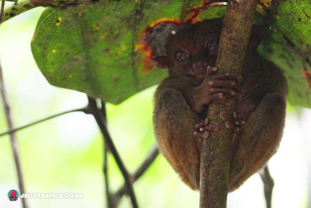 tarsier-sanctuary-bohol-philippines